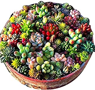 LEANO 100 Pcs Mixed Succulent Anti-Radiation Fleshy Seeds Potted Flower Cacti & Succulents