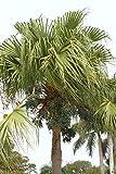 Vendiamo solo semi. Livistona J Exotie rari e palme a ventaglio, semi di palme, 25 semi Seeds è il set - Prezzo comprensivo di tasse doganali.