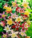 Aimado Seeds Garden-50 Pcs Ancolies 'Mac Kana' en mélange graines,poussent facilement et su,plantes Vivace rare pour Jardin