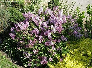Raflesa Syringa 'PALIBIN'- Lilac- Fragrant - Starter Plant - Approx 3-4 INCH - DORMANT