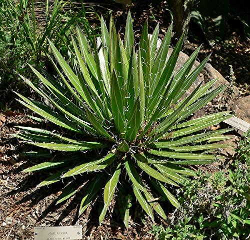 Agave filifera Saatgut, 20 Samen