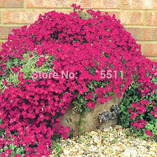 Escalade Fleur 100 Aubrieta Graines Cascade Purple Flowers Seed, Superb vivace Couvre-sol floraison des plantes pour jardin
