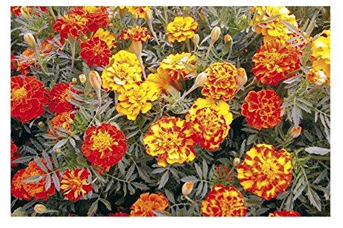 Lot de 50 graines de Tagète Oeillet d´Inde naine double Bonita Mix - plantes annuelles