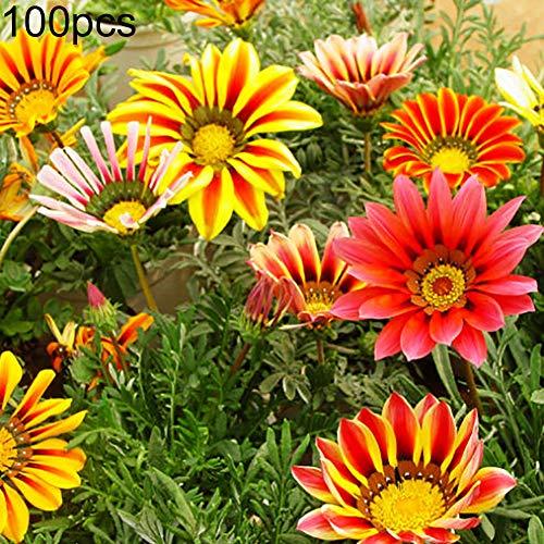 Tennessee526 Beautiful Exotic Flower Perennial Outdoor Garden 100Pcs Gazania Rigens Seeds Chrysanthemum Ornamental Flower Garden Bonsai Decor - Gazania Rigens Seeds