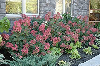 Pink Diamond Hydrangea - Live Plants Shipped 2 to 3 Feet Tall by DAS Farms (No California)