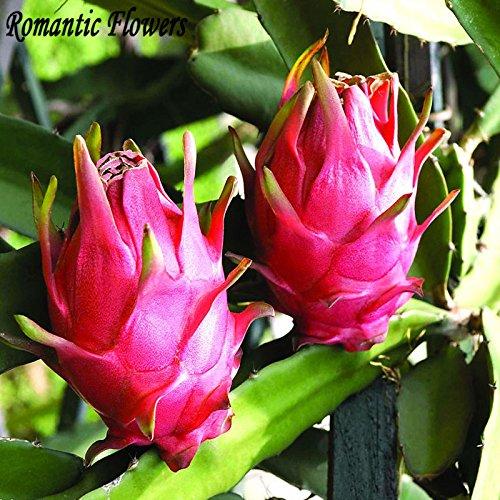 Originalverpackung Pitaya Samen, Stauden Obstbaum, Anti-Aging White Dragon Fruit Seeds Über 40 Partikel