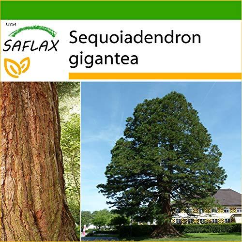 SAFLAX - Árbol mamut - 50 semillas - Con sustrato estéril para cultivo - Sequoiadendron gigantea
