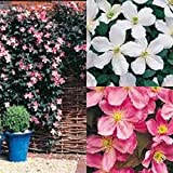 LOT OF 3 MIXED CLEMATIS CLIMBING PLANTS FAST GROWING IN 9 CM SIZED POTS