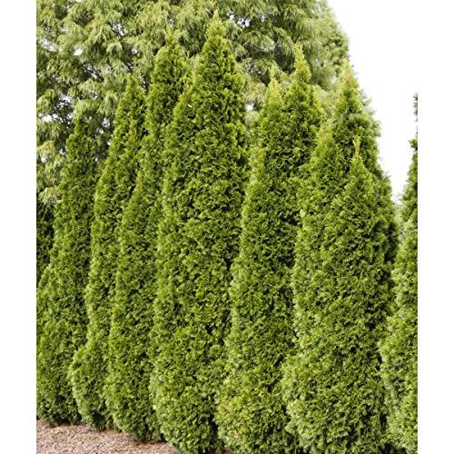 Emerald Green Arborvitae (Thuja) Starter Hedge Kit, Live Evergreen Bareroot Plants, 12 to 18 inches Tall (10-Pack)