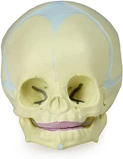 Parco Scientific PB00030 Human Fetal Skull   Life-Size   30th Week of Pregnancy   Exhibits Cranial & Facial Components, Fontanels and Developing Bones