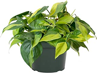 AMERICAN PLANT EXCHANGE Philodendron Brasil Easy Care Live Plant, 6