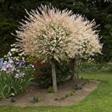 YouGarden Salix Hakuru Nishiki Standard Plants