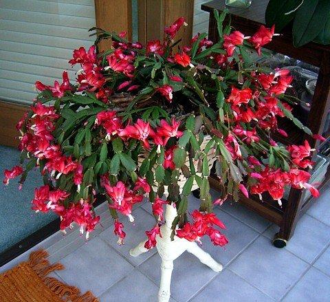 "Red Christmas Cactus Plant - Zygocactus - 4"" Pot"