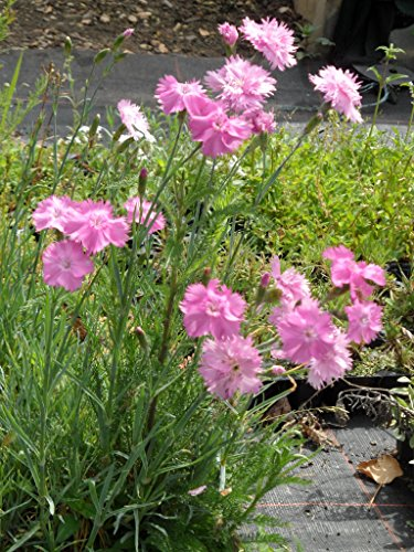 Dianthus plumarius fl. pl. Roseus - Gefüllt blüh. rosa Federnelke, 6 Pfl. im 5/6 cm Topf