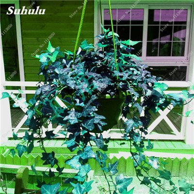 Rare coloré semences de fleurs à feuilles persistantes en rotin Escalade Plante Easy Grow extérieur Bonsai paniers suspendus plantes les plus populaires 50 Pcs 12
