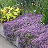 UtopiaSeeds Creeping Thyme Seeds - Landscaping...