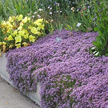 UtopiaSeeds Creeping Thyme Seeds - Landscaping Ground Cover - Purple - Approximately 8000 Seeds