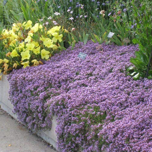 UtopiaSeeds Creeping Thyme Seeds - Landscaping Ground Cover - Purple -...