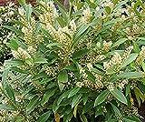 40Pcs Skip Cherry Tree Seeds Laurel(schip) Trade Gallon Pot