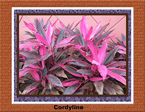 Cordyline red leaves from Florida (English Edition)