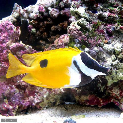(海水魚)ヒフキアイゴ Lサイズ(1匹) 北海道・九州・沖縄航空便要保温
