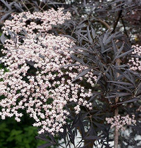 Schwarzer Holunder Black Lace® 30-40cm - Sambucus nigra
