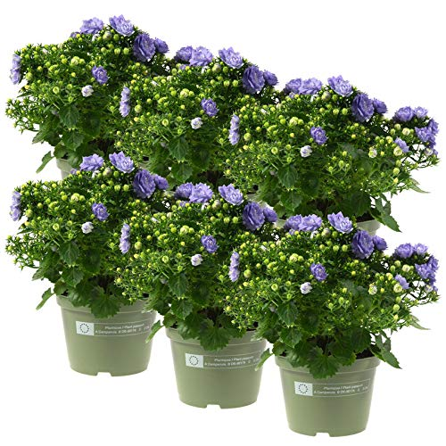 Kölle Glockenblume, 6er-Set, Campanula haylodgensis 'Like Mee'®, blau, Gesamthöhe ca. 15 cm