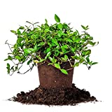 Perfect Plants Asiatic Jasmine Live Plant, 1 Gallon, Includes Care Guide