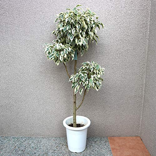 フィカス ベンジャミン スターライトビューティークイーン 3〜4玉7号プラスチック鉢 観葉植物大型【品種で選べる観葉植物・リビングやオフィス向きサ