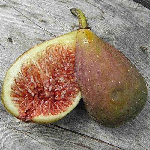 Ficus carica 'Longue d'Août' - Figuier d'été - Figue banane