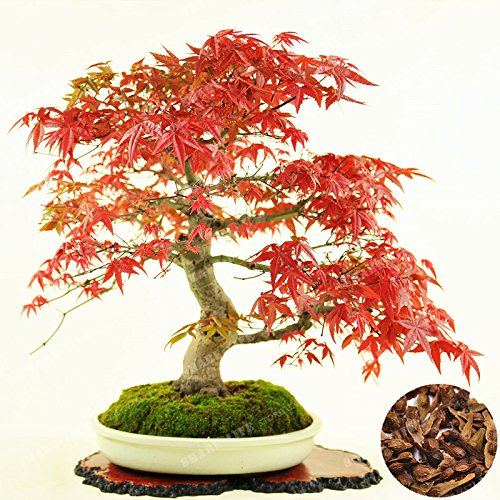 100% réel Acer palmatum « Atropurpureum » Seed 20 Pcs/Paquet japonais d'érable rouge Graines Bonsaïs balcon jardin