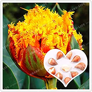 True Yellow Tulip Bulb,Tulip Flower,(Not Tulip Seed),Flower Bulb Symbolizes Love,Tulipanes Flower Plant for Garden Plants 2 Bulb