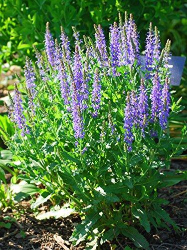 Perennial Farm Marketplace Salvia n. 'Blue Hill' (Sage) Perennial, 1 Quart,...