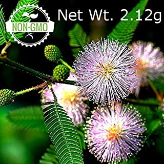 Gaea's Blessing Seeds - Sensitive Plant Seeds 300+ Non-GMO Seeds, Touch Me Not, Mimosa Pudica, Moving Plant, Shameful Plant, Shy Plant, 91% Germination Rate