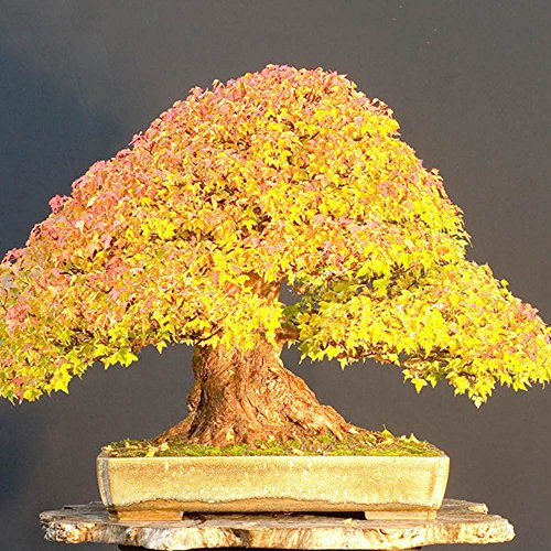 Yellow Japanese Maple Bonsai