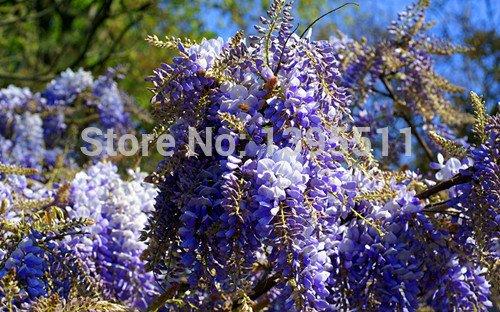macetas planters5pcs / semillas de flores bolsa de glicinias, flor de glicina, chino glicinas bonsai colores mezclados Subida de la flor de la rota