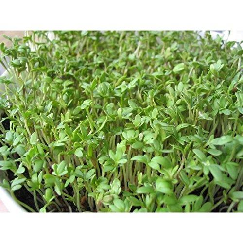 100 graines semences cressons alénois commun se cultive toute l'année