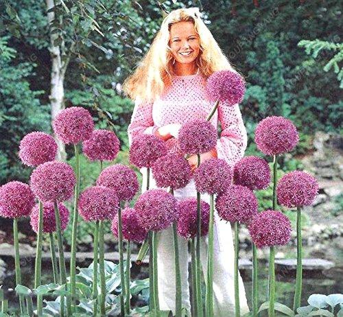 30pcs/sac géant oignon (Allium giganteum) graine rare bonsaï belle fleur plantes en pot de fleurs jardin orange Livraison gratuite