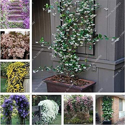 Misto: 100 pezzi Semi di fiori di gelsomino rampicante esotici Semi di gelsomino colorati Pianta profumata Semi di gelsomino arabo Pianta bonsai Giardino domestico