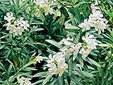 Pianta vera da esterno arbusto SIEPE ORNAMENTALE DI OLEANDRO NERIUM OLEANDER BIANCO CANDIDO