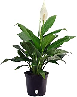 Costa Farms Peace Lily, Spathiphyllum, Live Indoor Plant, 2-Feet Tall, Ships in Grow Pot, Fresh From Our Farm, Excellent Gift or Home Décor