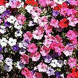 Petunia Balcony Mix semi - Petunia x hybrida - 800 semi - 800 semi