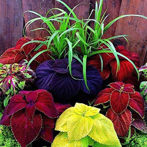 Seeds4planting - Seeds Indoor Coleus Mix (Black Chocolate, Red Dragon) Exotic...
