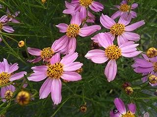 HOT - Coreopsis rosea American Dream 1,000 Seeds