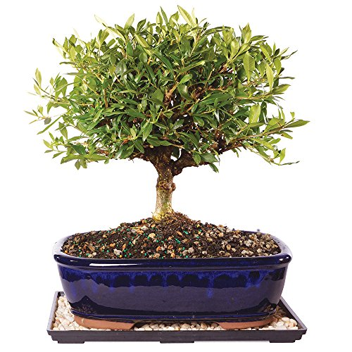 Brussel's Live Gardenia Outdoor Bonsai Tree - 10 Years Old; 12' to 16' Tall with Decorative Container, Humidity Tray & Deco Rock