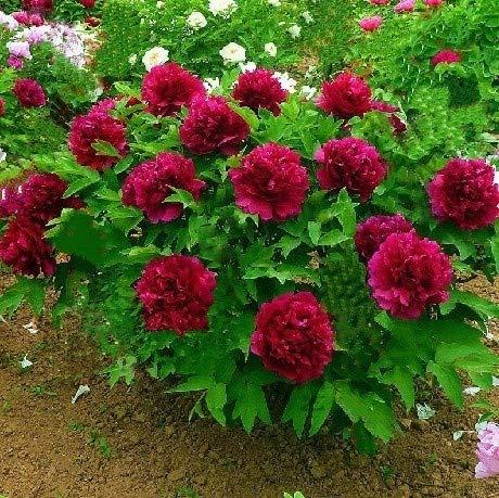 Vendre Rare Peony Chinese Seeds plantation de verdure et de fleurs Terrasse Cour Jardin Paeonia Suffruticosa Seeds - 20 PCS