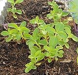 50 STEVIA (Sweetleaf / Sweet Leaf / Sugarleaf) Stevia Rebaudiana Sugar...