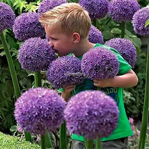 Kisshes Giardino - Semi di giglio ornamentale gigante (Allium giganteum) Semi di fiori esotici perenni resistenti perenni