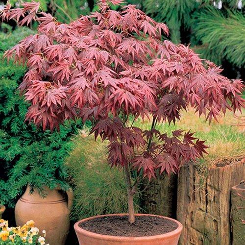 Acer Atropurpureum 10cm #1