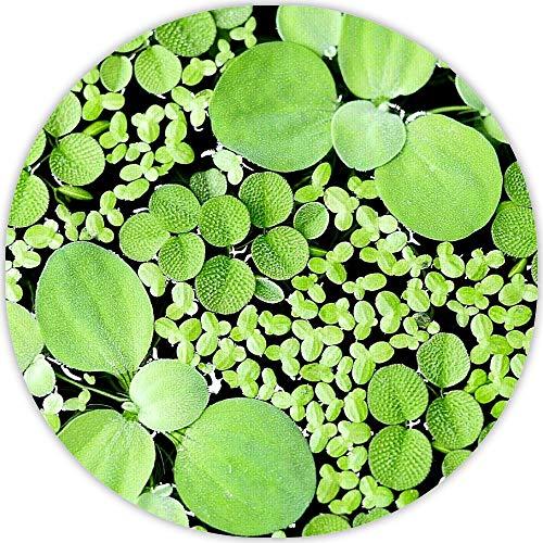 aquarz Schwimmpflanzen 3 Sorten Büschelfarn Muschelblume Wasserlinsen schnellwachsende Aquariumpflanzen gegen Algen im Aquarium 5x5cm für 20l - 200l+ Aquarien grüne Wasserpflanzen